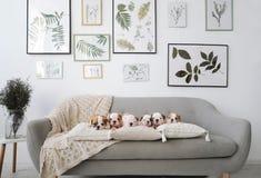 Sechs englische Bulldoggenwelpen, die auf grauem Sofa im Raum sitzen Stockbild