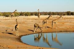 Sechs Giraffen, die an einem waterhole stehen, trinken und gehen Stockbild