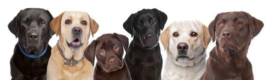 Sechs Labrador-Hunde in einer Reihe Lizenzfreies Stockbild