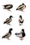 Sechs lustige Enten Stockfotografie