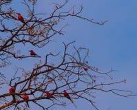 Sechs südliche Karminbienenfresser, die in einem Baum sitzen lizenzfreies stockbild