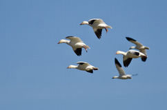 Sechs Schnee-Gänse, die in einen blauen Himmel fliegen Lizenzfreie Stockbilder