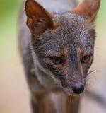 Sechuran Fox portrait Stock Photography