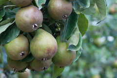 Seckel pears Royalty Free Stock Images