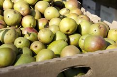 Seckel Pears Stock Images