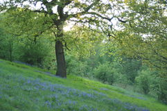 Secluded haven. Bluebells in a spring time meadow surrounded by lush green trees Royalty Free Stock Photo