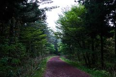 A secluded pathway in Saryuni Forest with trees lined up at both sides of the dirt path, Jeju Island, South Korea. A secluded pathway in Saryuni Forest with Royalty Free Stock Image