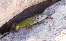 Secluded refuge lizards Royalty Free Stock Photography