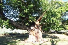 Secolar fig tree Royalty Free Stock Photos