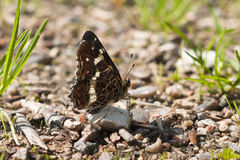 Second brood Map butterfly, Araschnia levana. On stone on the ground facing right with wings closed Royalty Free Stock Photos