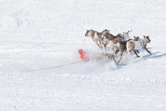 Second before falling musher sleds with reindeer Stock Photography