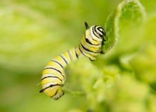 Second instar Monarch caterpillar Stock Photos