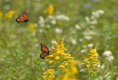 Second monarch butterfly descending on the first Stock Image