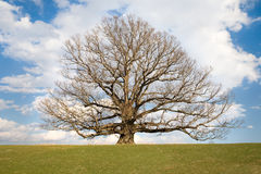 Second oldest White Oak tree in USA. Very old, ancient, White Oak tree, Qereus Alba, located in Virginia USA Stock Image