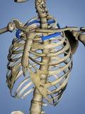 Second Rib, Rib Cage, 3D Model. Second Rib, Rib Cage, Human Skeleton, Blue Background, 3D Model Stock Photo