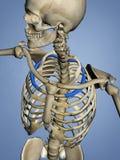 Second Rib, Rib Cage, 3D Model. Second Rib, Rib Cage, Human Skeleton, Blue Background, 3D Model Stock Images
