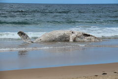 Second whale beaches itself on Broulee Royalty Free Stock Photo