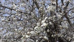 Secou? par les branches d'arbre se d?veloppantes de vent avec des fleurs de ressort Enregistrement vid?o Mouvement lent banque de vidéos