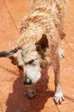 Secousse du chien de berger humide Photo libre de droits