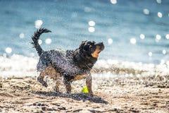 Secousse humide de chien Images stock