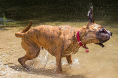 Secousse humide de chien Images libres de droits