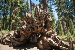 Secoya de madera de la raíz del árbol Imágenes de archivo libres de regalías