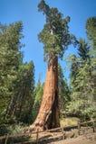 Secoya del árbol alto Imagen de archivo libre de regalías