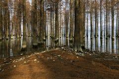 Secoyas en la orilla en agua poco profunda en invierno Imagen de archivo