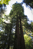 Secoyas en Muir Woods Foto de archivo