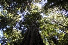 Secoyas en Muir Woods Imagen de archivo libre de regalías