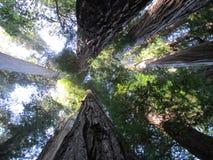 Secoyas gigantes en California septentrional Fotos de archivo libres de regalías
