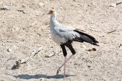 Secrétaire Bird Photo libre de droits