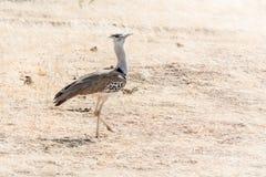 Secrétaire Bird images stock