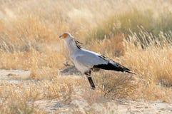 Secrétaire Bird, parc franchissant les frontières de Kgalagadi, Afrique du Sud Image stock