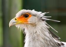 Secrétaire Bird Portriat Photographie stock