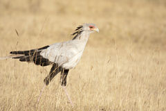 secrétaire d'oiseau Photographie stock libre de droits