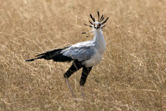 Secrétaire oiseau photographie stock