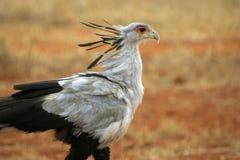 Secrétaire oiseau images stock