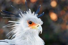 Secrétaire oiseau africain Images libres de droits