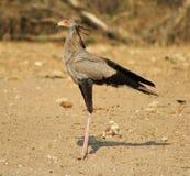 Secrétaire oiseau - Gamebird africain Photo stock