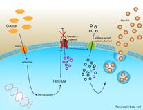 Secreção da insulina Imagens de Stock