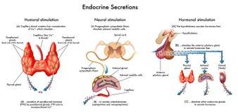 Secreções da glândula endócrina Foto de Stock Royalty Free