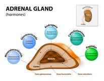 Secreción de la hormona de la glándula suprarrenal Fotografía de archivo libre de regalías