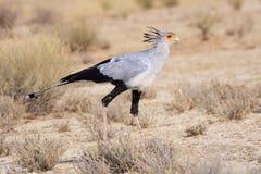 Secretário Bird Fotos de Stock Royalty Free