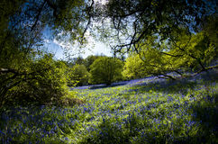 Secret bluebell glade royalty free stock images