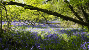 Secret bluebell glade Royalty Free Stock Photography