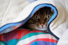Secret place. Tabby cat lying under the coloured quilt with eyes wide open Royalty Free Stock Images