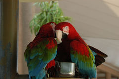 Secret Telling Birds. Two parrots sharing secrets Stock Images