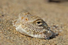 Secret Toad-Headed Agama Royalty Free Stock Photo