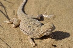 Secret Toad-Headed Agama Stock Photo